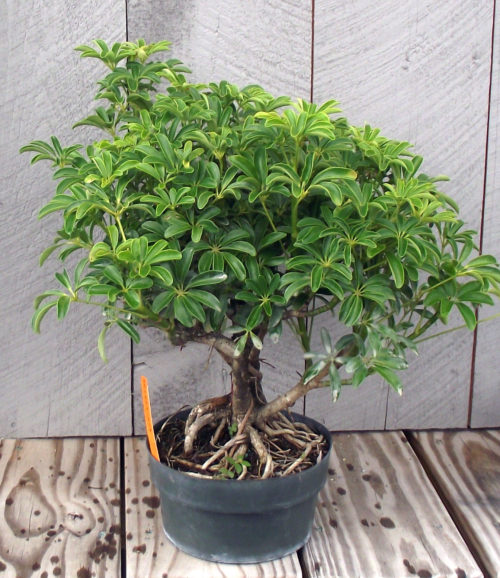 Astounding Bonsai Well Stocked Odonals Nursery Wiring Cloud Hisonuggs Outletorg